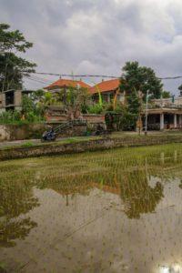 ein unter Wasser gesetztes Reisfeld mit zarten Stängeln mitten in Ubud